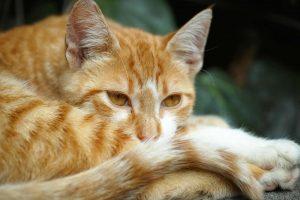calicivirus Katze