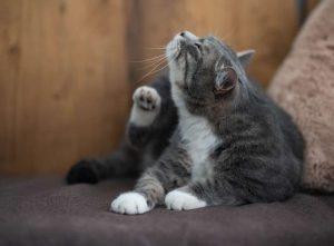 Hauterkrankungen bei Katzen