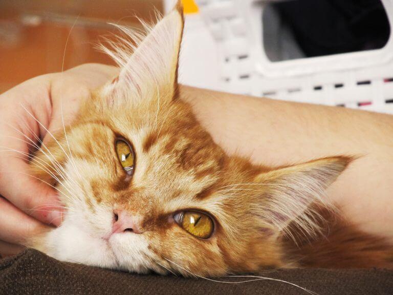 Felines Immundefizienz-Virus (FIV)