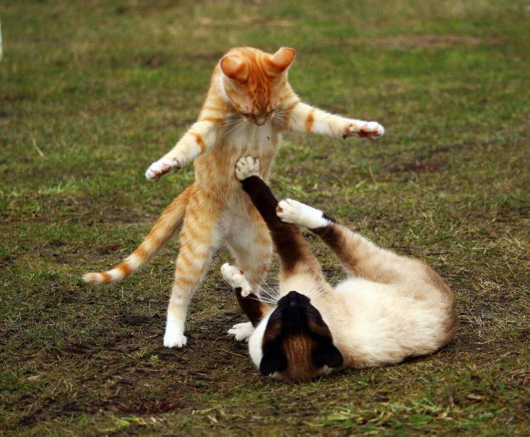 Spiel oder Kämpfen Katze
